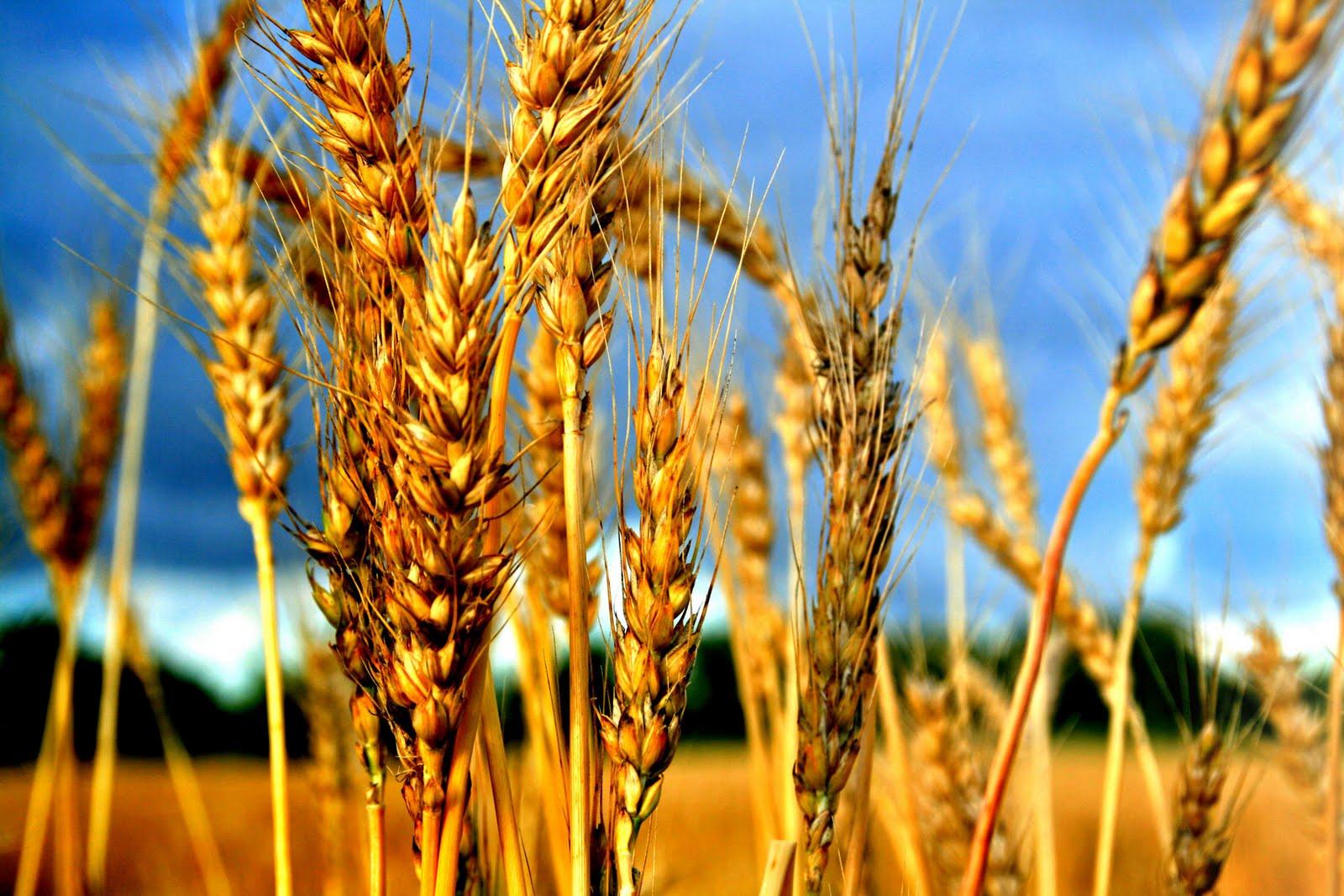 Schilowitz.Sefira.Wheat
